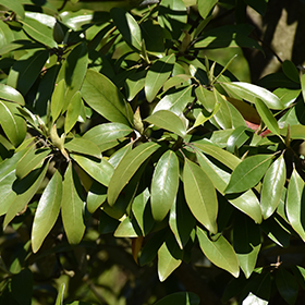 Broadleaf Evergreen Shrub Photo