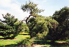 Japanese Red Pine (Pinus densiflora) at Roger's Gardens