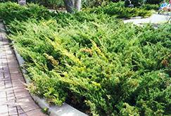 Arcadia Juniper (Juniperus sabina 'Arcadia') at Roger's Gardens