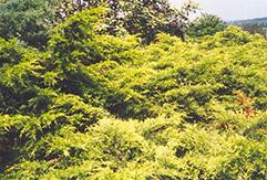 Golden Pfitzer Juniper (Juniperus x media 'Pfitzeriana Aurea') at Roger's Gardens