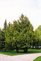 Arborvitae (Thuja occidentalis) at Roger's Gardens