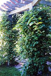 Common Grape (Vitis vinifera) at Roger's Gardens