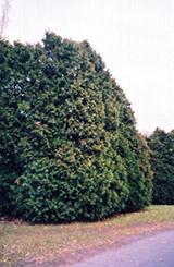 Oriental Arborvitae (Thuja orientalis) at Roger's Gardens