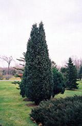 Pyramidal Chinese Juniper (Juniperus chinensis 'Pyramidalis') at Roger's Gardens