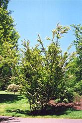 Oriental Photinia (Photinia villosa) at Roger's Gardens
