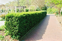 Common Boxwood (Buxus sempervirens) at Roger's Gardens