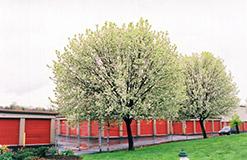 Bradford Ornamental Pear (Pyrus calleryana 'Bradford') at Roger's Gardens