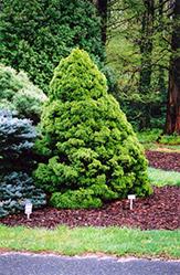 Dwarf Alberta Spruce (Picea glauca 'Conica') at Roger's Gardens