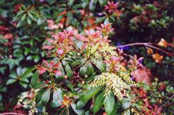 Japanese Pieris (Pieris japonica) at Roger's Gardens
