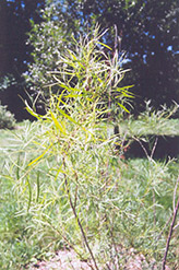 Coyote Willow (Salix exigua) at Roger's Gardens