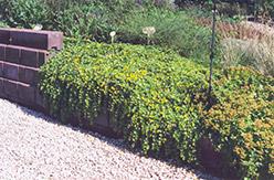 Creeping Jenny (Lysimachia nummularia) at Roger's Gardens