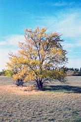 Siberian Elm (Ulmus pumila) at Roger's Gardens