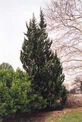 Robusta Juniper (Juniperus chinensis 'Robusta') at Roger's Gardens