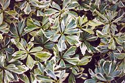 Silver Edge Japanese Spurge (Pachysandra terminalis 'Variegata') at Roger's Gardens