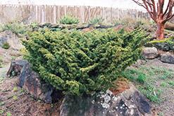Shimpaku Juniper (Juniperus chinensis 'Shimpaku') at Roger's Gardens