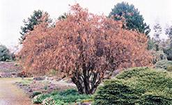Harry Lauder's Walking Stick (Corylus avellana 'Contorta') at Roger's Gardens