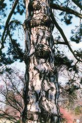 Austrian Pine (Pinus nigra) at Roger's Gardens