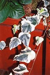 Variegated English Ivy (Hedera helix 'Variegata') at Roger's Gardens