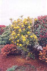 Oregon Grape (Mahonia aquifolium) at Roger's Gardens