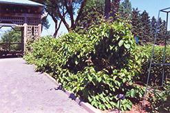 Issai Hardy Kiwi (Actinidia arguta 'Issai') at Roger's Gardens