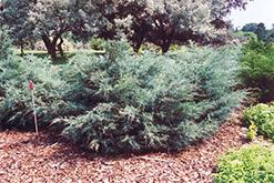 Savin Juniper (Juniperus sabina) at Roger's Gardens