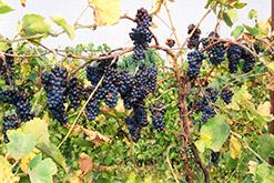 Pinot Noir Grape (Vitis 'Pinot Noir') at Roger's Gardens