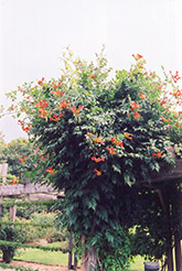 Trumpetvine (Campsis radicans) at Roger's Gardens