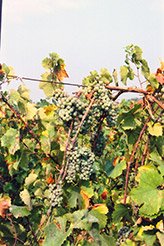 Riesling Grape (Vitis 'Riesling') at Roger's Gardens