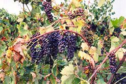 Zinfandel Grape (Vitis 'Zinfandel') at Roger's Gardens