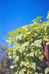 Hops (Humulus lupulus) at Roger's Gardens