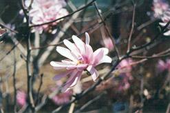 Pink Stardust Magnolia (Magnolia stellata 'Pink Stardust') at Roger's Gardens