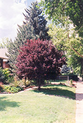 Purpleleaf Plum (Prunus cerasifera 'Atropurpurea') at Roger's Gardens
