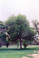 Common Mulberry (Morus alba) at Roger's Gardens