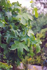 Round Leaf Sweet Gum (Liquidambar styraciflua 'Rotundiloba') at Roger's Gardens