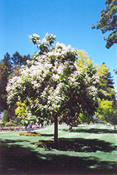 Southern Catalpa (Catalpa bignonioides) at Roger's Gardens
