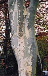 London Planetree (Platanus x acerifolia) at Roger's Gardens