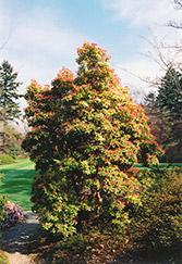 Valley Fire Japanese Pieris (Pieris japonica 'Valley Fire') at Roger's Gardens