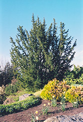 English Yew (Taxus baccata) at Roger's Gardens