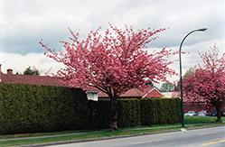 Kwanzan Flowering Cherry (Prunus serrulata 'Kwanzan') at Roger's Gardens