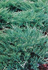 Sargent's Juniper (Juniperus chinensis 'var. sargentii') at Roger's Gardens