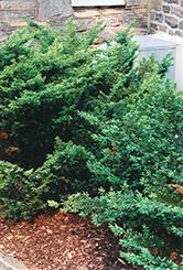 Depressa Juniper (Juniperus communis 'Depressa') at Roger's Gardens