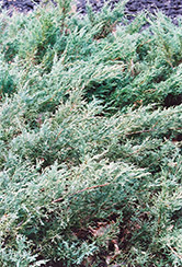 Blue Sargent Juniper (Juniperus chinensis 'var. sargentii Glauca') at Roger's Gardens