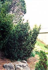 Captain Upright Yew (Taxus cuspidata 'Fastigiata') at Roger's Gardens