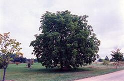 Black Walnut (Juglans nigra) at Roger's Gardens