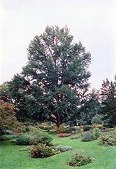 Ginkgo (Ginkgo biloba) at Roger's Gardens
