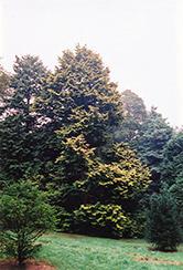 Golden Hinoki Falsecypress (Chamaecyparis obtusa 'Aurea') at Roger's Gardens