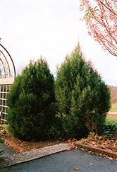 Cologreen Juniper (Juniperus scopulorum 'Cologreen') at Roger's Gardens