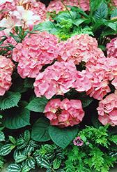 Merritt's Supreme Hydrangea (Hydrangea macrophylla 'Merritt's Supreme') at Roger's Gardens