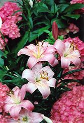 Magento Lily (Lilium 'Magento') at Roger's Gardens