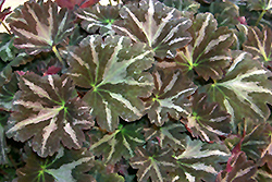 Silver Velvet Saxifrage (Saxifraga fortunei 'Silver Velvet') at Roger's Gardens